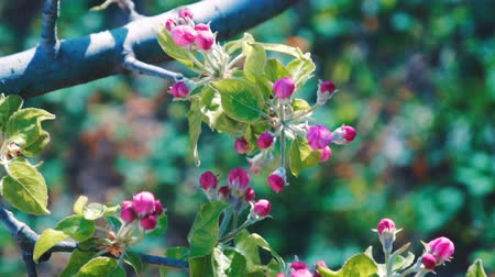 опылять : Close up of apple blossoms in a blooming apple tree.