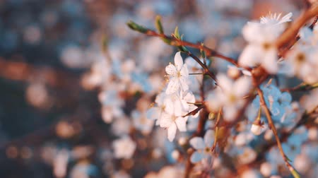 ornamentální : Blooming flowers in the garden. Blooming plum tree