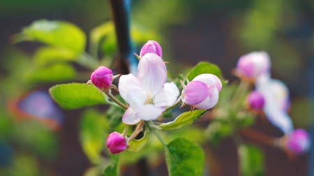 timelapse : Close up of apple blossoms in a blooming apple tree.