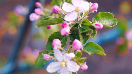 güzelleşmek : Close up of apple blossoms in a blooming apple tree.