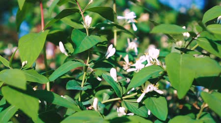 fragrances : Jasmine flowers - beautiful jasmin flowers in bloom.