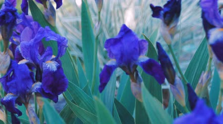perennials : Purple Iris germanica flower plant in spring garden