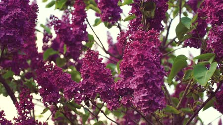 кусты : Lilac purple flowers tree, natural seasonal spring floral macro Стоковые видеозаписи
