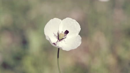 chique : White poppy flowers in the field at spring time, close up.