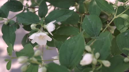 yasemin : beautiful jasmine white flowers in summer day