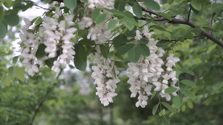 locust : Spring white flowers on acacia tree. Natural remedi. Stock Footage