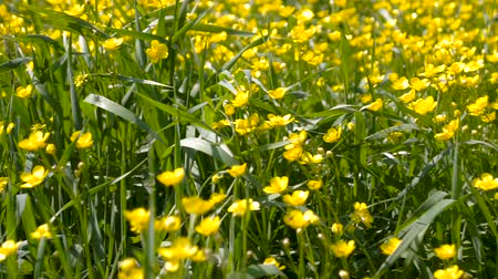 otsu : Spring background with Anemone ranunculoides, yellow wood anemone, flowers in nature.