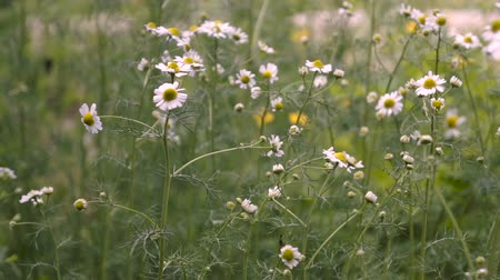 camomila : Summer field with white daisies.