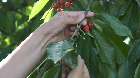 gatherer : Farmer hand picking cherries, fruits, cherry tree, organic orchard, horticulture