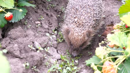 spiny : Also known as European hedgehog or common hedgehog