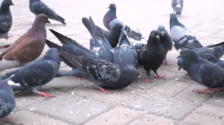 população : Huge Flock of pigeons eating bread outdoors in the city park. Lot of pigeons eat food on the street.