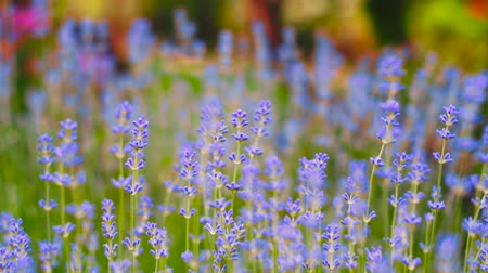 крошечный : Lavender. Growing Lavender Flower closeup. Field of lavender. Стоковые видеозаписи