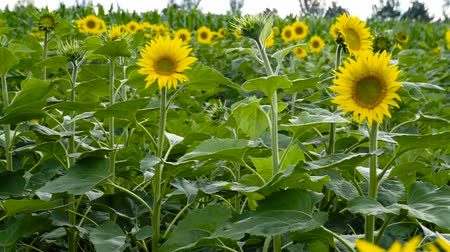 sunflower seed : Sunflowers in the field. Yellow flowers. Stock Footage