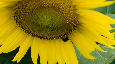 extreme weather : Macro of bee gathering pollen from sunflower in field Stock Footage