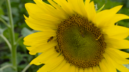 тычинка : Field of Sunflower, Sunflower closeup Стоковые видеозаписи
