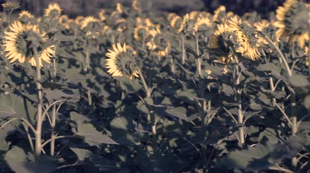 flowers oil : Sunflowers in the field. Yellow flowers. Stock Footage