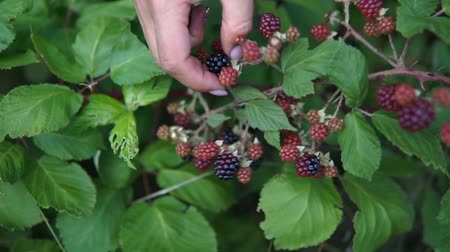 fenntartható : Womans hands picking up blackberries. Full HD Stock mozgókép