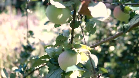 apple tree : Young apple on the tree. Ripe apple on a tree. Apple tree. Juicy apple on the tree branch.