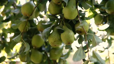 pereira : Pears in the garden on the branche tree.