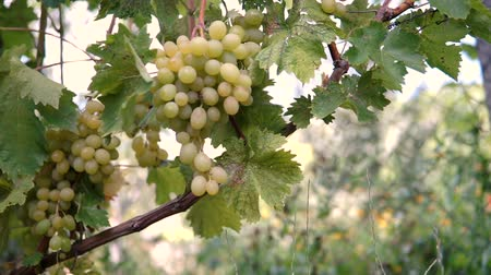 cachos : Hanging bunches of green wine grapes in vineyard.