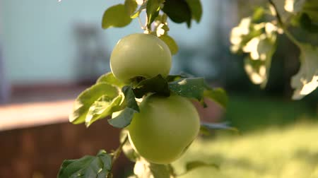 mellow autumn : Young apple on the tree. Ripe apple on a tree. Apple tree. Juicy apple on the tree branch.