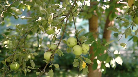 fruity garden : Young apple on the tree. Ripe apple on a tree. Apple tree. Juicy apple on the tree branch.