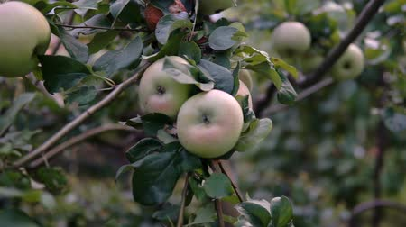 селективный : Young apple on the tree. Ripe apple on a tree. Apple tree. Juicy apple on the tree branch.