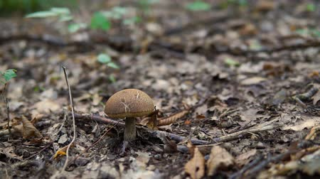 невозделанный : Brown mushroom in the forest, close up dolly shot.