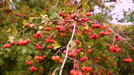 meidoorn : Rode bessen op doornige takken Rode bessen. tak herfst zonlicht en bladeren op doornige takken meidoorn of doornappel Crataegus. Gimbal chooting. Stockvideo