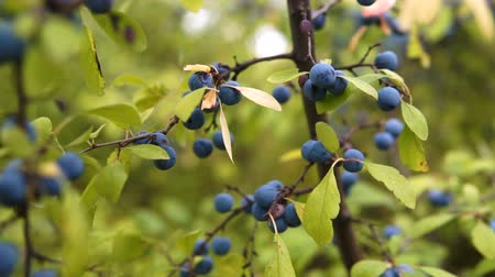 джин : Delicate fresh Sloe berries on branche. Autumn. gimbal chooting.