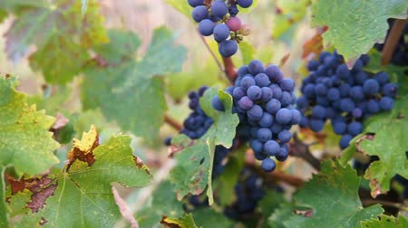 harvesting : Ripe Vineyard Grapes. Grapes Vineyard Sunset. Ripe Grapes On The Vine For Making White Wine. Stock Footage