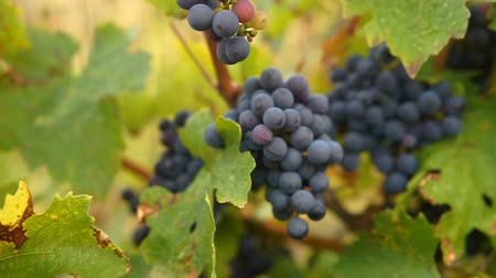 autumn leaves : Ripe Vineyard Grapes. Grapes Vineyard Sunset. Ripe Grapes On The Vine For Making White Wine. Stock Footage