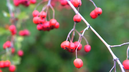 Red berries on thorny branches Red berries. branch autumn sunlight and leaves on thorny branches hawthorn or thornapple Crataegus. Gimbal chooting.