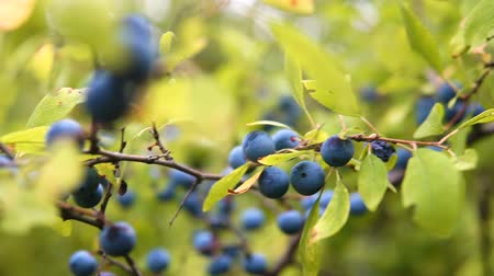 krzew : Delicate fresh Sloe berries on branche. Autumn. gimbal chooting.
