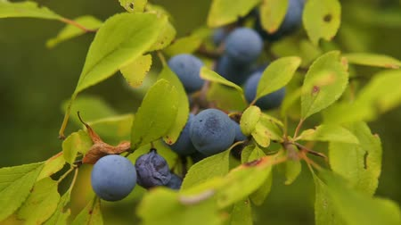 ginástico : Delicate fresh Sloe berries on branche. Autumn. gimbal chooting.