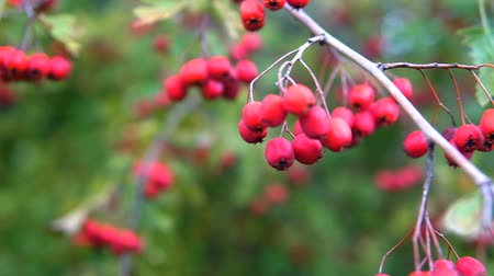 dikenli : Red berries on thorny branches Red berries. branch autumn sunlight and leaves on thorny branches hawthorn or thornapple Crataegus. Gimbal chooting.