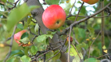 Apple trees with red apples. Gimbal shooting. Dostupné videozáznamy