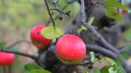 изобилие : Apple trees with red apples. Gimbal shooting. Стоковые видеозаписи