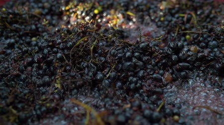 bordo : Winemaking. Mixing cap of grape skins. Stok Video