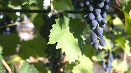 Bunches of heavy ripe dark purple vine grape with bloom growing in row at vineyard farm, green and red leaves. Gimbal chooting.