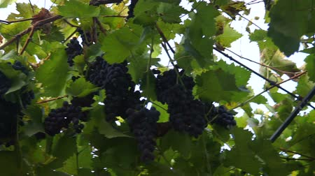 unripe : Bunches of heavy ripe dark purple vine grape with bloom growing in row at vineyard farm, green and red leaves. Gimbal chooting.