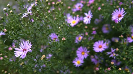 otsu : Purple Asters Fall Flowers Steadicam shot.