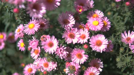 aster amellus : Purple Asters Fall Flowers Steadicam shot.