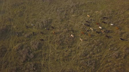 dairy cattle : Aerial view cows Herd cows on a autumn pasture. Aerial footage, 4K video.