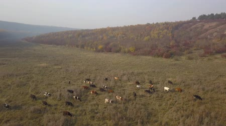 düve : Aerial view cows Herd cows on a autumn pasture. Aerial footage, 4K video.