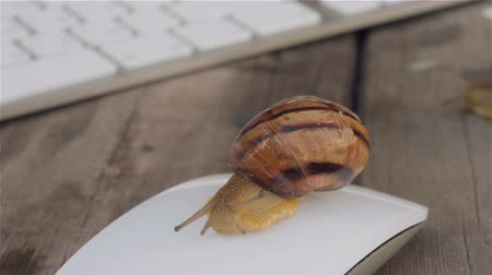 alegorie : Snail crawling on the computer mouse near the computer keyboard. The metaphor of slow computer, slow Internet