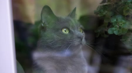 dilated pupils : camera moves through the window at the Russian blue cat Stock Footage