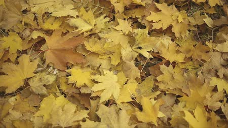 brilliant fall foliage : A lot of yellow fallen autumn maple leaves lie on the ground Stock Footage