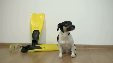 zvědavý : Dog Jack Russell Terrier sits on the floor in the room, next to her there are yellow fins and a mask for diving
