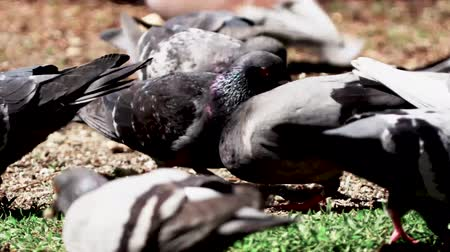 rook : Pidgins Eating Piece Of Bread 2 Stock Footage